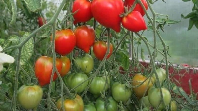 """Приглянется внешним видом и полюбится за вкусовые качества – томат """"Юбилейный Тарасенко"""""""
