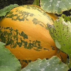 Описание тыквы обыкновенной (твердокорой, пепо): состав и свойства, характеристики, нюансы выращивания и применения
