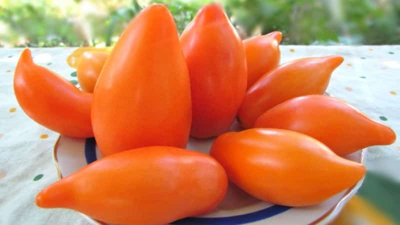 Экзотическая разновидность помидоров для настоящих гурманов – Перцевидные томаты для салатов и консервации