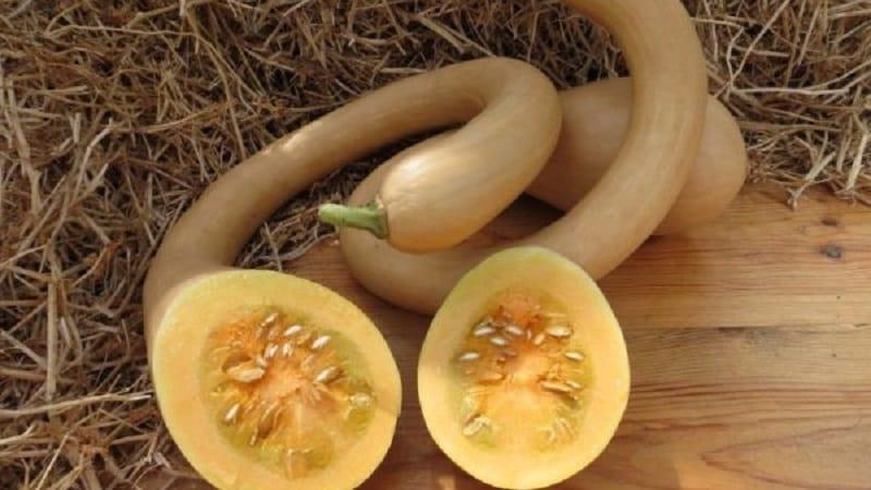 """Вкусный и крайне необычный сорт мускатной тыквы """"Тромбон"""": как вырастить и куда применить урожай"""