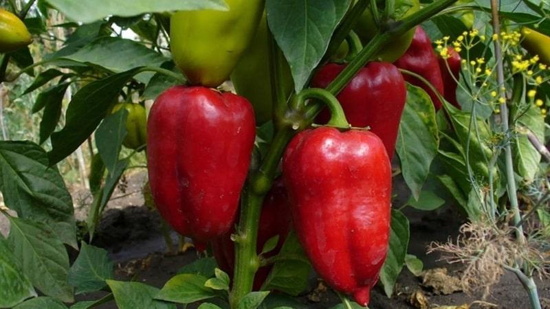 """Идеальный на вид и потрясающий на вкус перец """"Полет"""": подробный обзор сорта и правила его выращивания"""