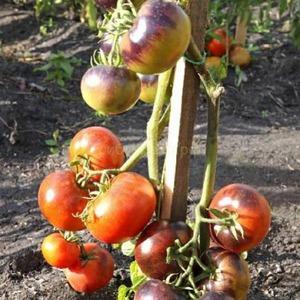 """Гибрид томатов """"Иван-да-Марья"""": непростой в уходе, но удивляющий своими вкусовыми качествами"""