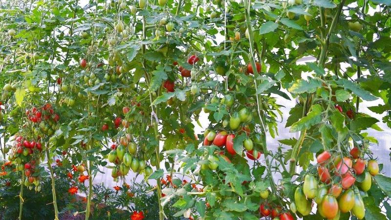 Как вырастить томат Чио-Чио-сан в открытом грунте или теплице: пошаговое руководство и советы дачников со стажем