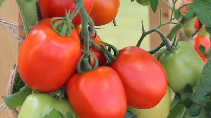 """Вкуснейший гибрид для истинных гурманов - томат """"Великосветский"""": знакомимся с видом и пробуем его вырастить"""
