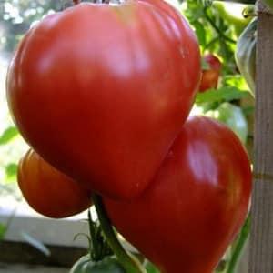 """Особенности агротехники сорта """"Любящее сердце красное"""""""