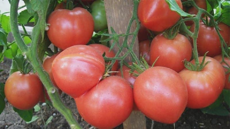 """Чем хорош томат """"Малиновая империя"""" и как его вырастить самостоятельно - практическое руководство"""