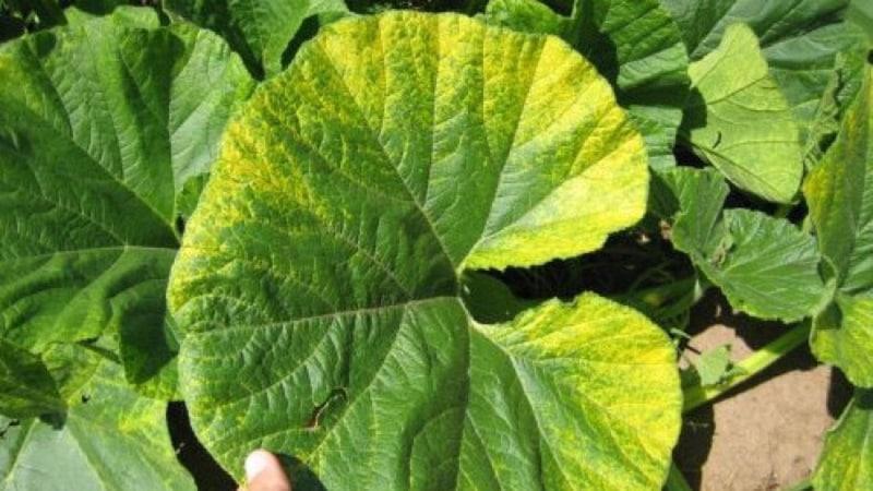 Как вовремя обнаружить болезни тыквы, эффективно вылечить их и спасти свой урожай