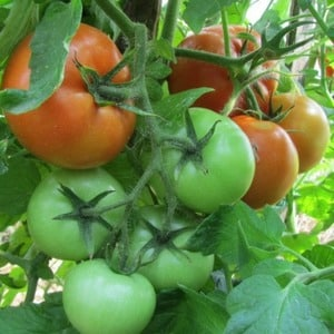 """Как правильно выращивать томат """"Марьина роща"""": отзывы, фото и урожайность раннеспелого гибрида"""