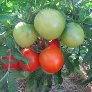 """Почему так любим и популярен томат """"Мечта огородника"""": описание сорта и отзывы дачников со стажем"""