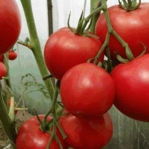 Характеристика и описание сорта томата Сахарный пудовичок