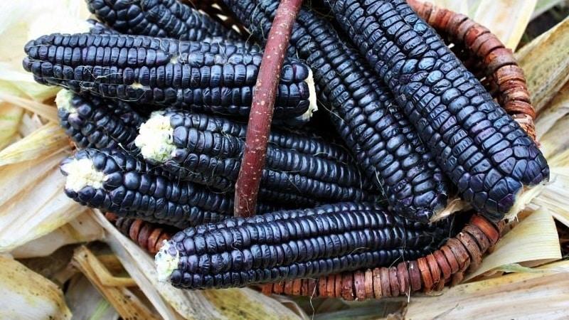 Экзотический овощ с удивительным видом - черная кукуруза: свойства, применение в кулинарии и народной медицине