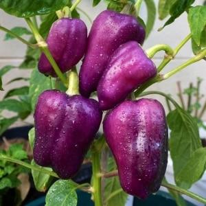 Лучшие сорта фиолетового перца и их особенности