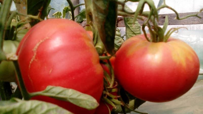 """Сорт с потрясающим вкусом, который вы точно полюбите - томат """"Малиновый гигант"""""""