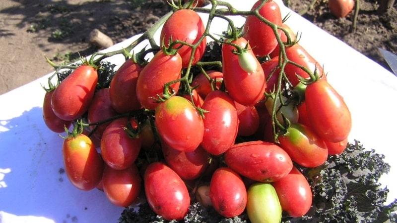 """Богатый урожай маленьких сливовидных помидорок с каждого куста - томат """"Розовый изюм"""" и секреты ухода за ним"""