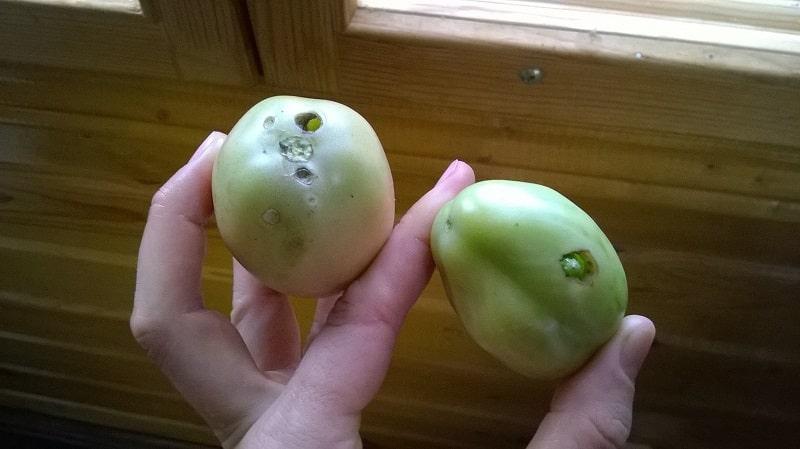 Быстро боремся с обнаруженной проблемой томатов: в помидорах появились дырки - что делать и как спасти свой урожай