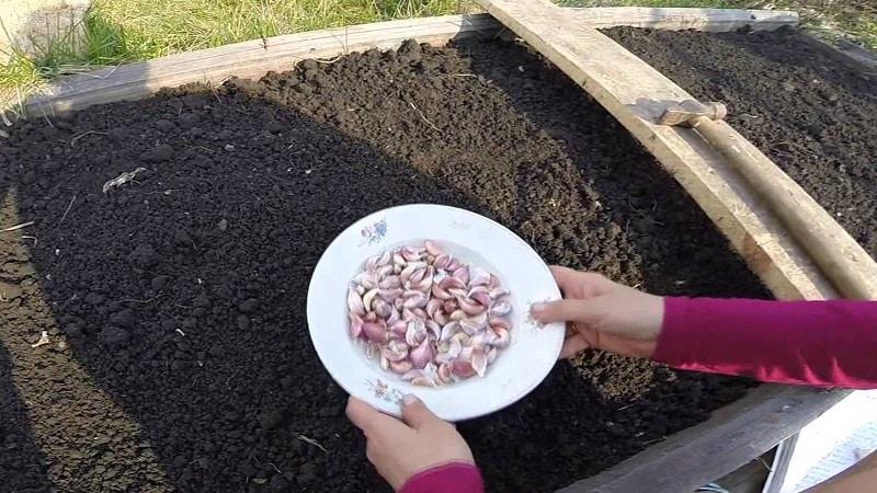 Что такое яровой чеснок и как его правильно выращивать: пошаговое руководство и секреты опытных огородников