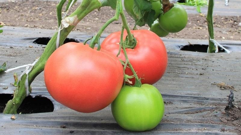 """Фаворит среди дачников для выращивания в теплице - томат """"Бабушкино лукошко"""""""