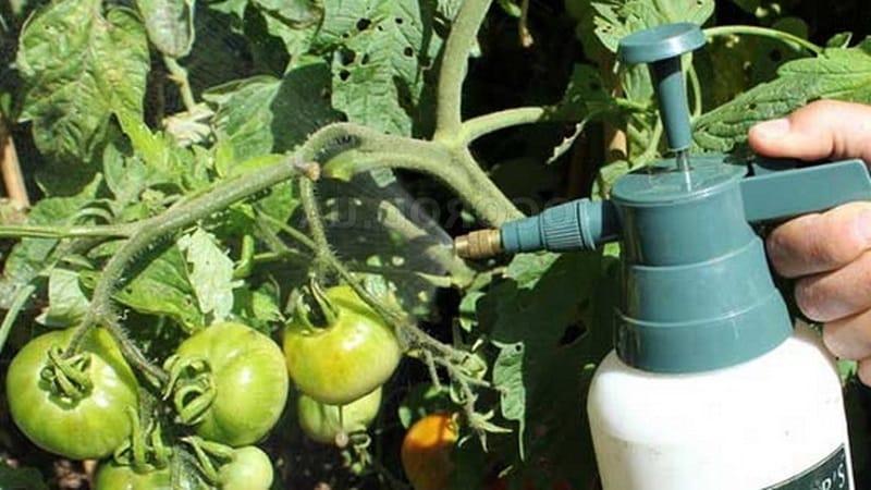 Инструкция по обработке томатов фитоспорином в теплице и меры предосторожности при опрыскивании помидоров