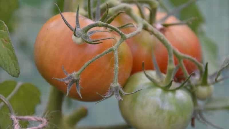 Инструкция по применению ХОМа для обработки помидоров: нюансы для открытого грунта и теплицы, меры предосторожности