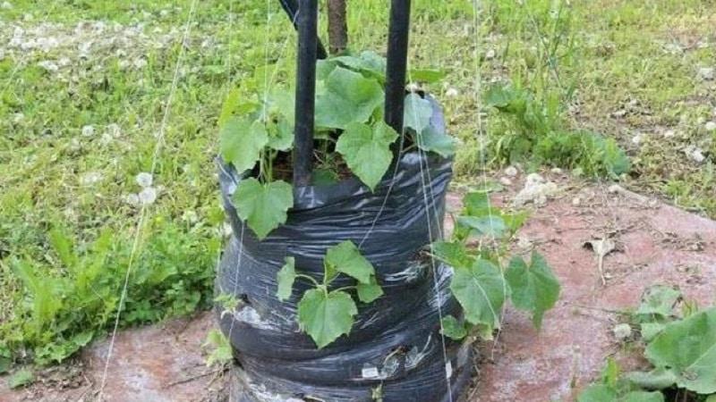 Инструкция по выращиванию огурцов в мешках: от подготовки материалов до сбора готового урожая