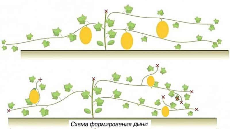 Как и когда производить формирование дыни в открытом грунте правильно