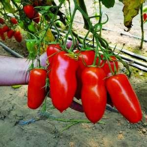 """Необычный томат с сочной мякотью и отличными вкусовыми качествами – """"Корнабель f1"""""""