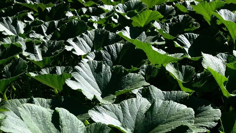 Народные методы лечения листьями тыквы: как их использовать в борьбе с заболеваниями