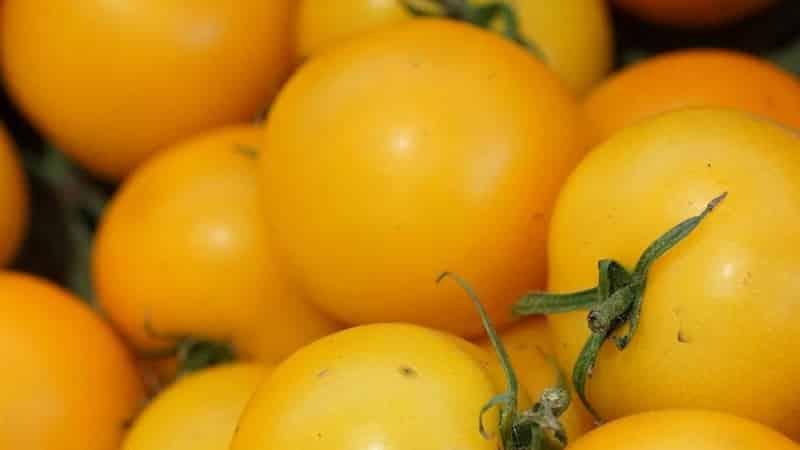 """Названный так за свою высокорослость необычный томат """"Жираф"""""""