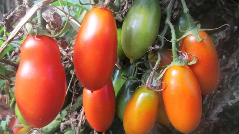"""Некапризный в уходе и идеально подходящий для засолки томат """"Французский гроздевой"""": обзор сорта и нюансы ухода"""