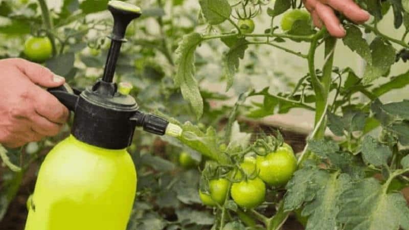 Обзор эффективных способов удобрения томатов йодом и молоком