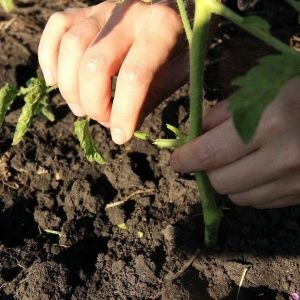 Корректируем уход за томатами: почему не цветут помидоры в теплице как правильно помочь кустам