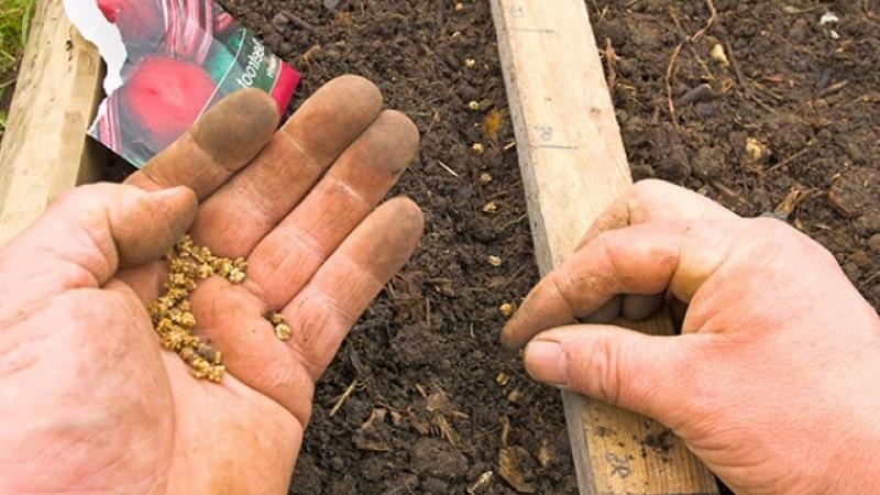 Пошаговая инструкция по посадке свеклы весной в открытый грунт и дальнейшему уходу за ней