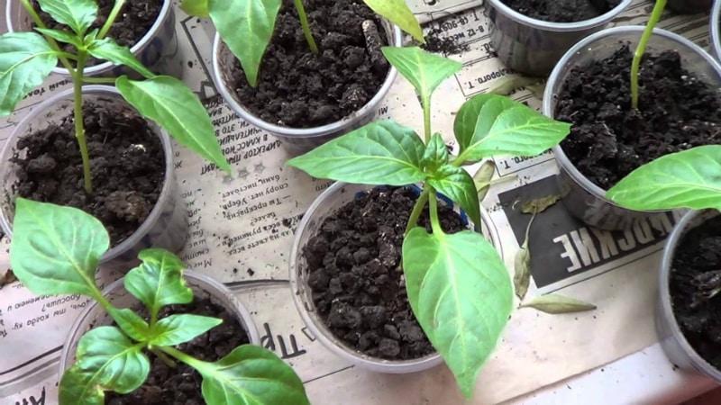 Пошаговая инструкция по выращиванию рассады перца в домашних условиях для начинающих овощеводов
