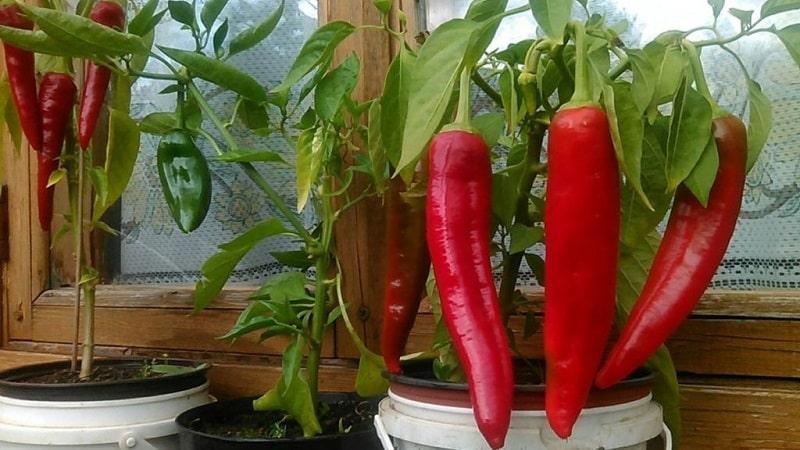 Руководство по выращиванию перца на балконе пошагово: получаем хороший урожай, не выходя из дома