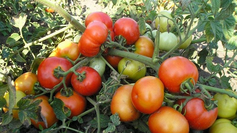 """Руководство по выращиванию томата """"Русский богатырь"""" в открытом грунте или теплице для начинающих огородников"""