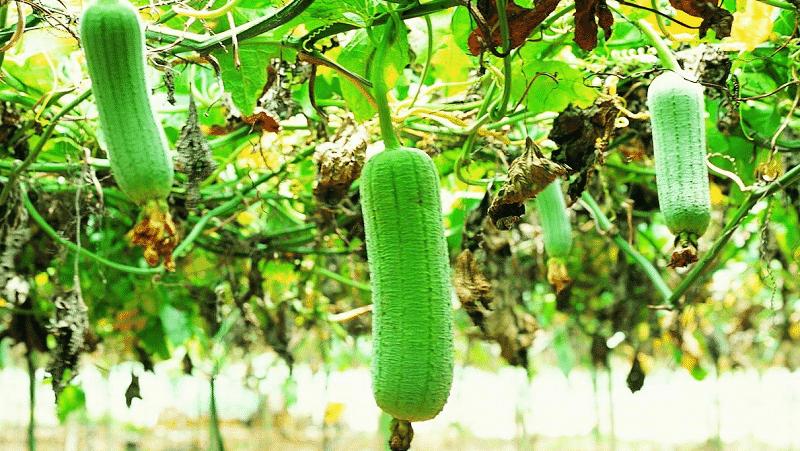 """Самый необычный вид тыквы """"Люффа"""": что он представляет собой и как сделать из него полезнейшую природную мочалку"""