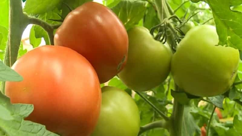 """Суперранний сорт с внушительной урожайностью - томат """"Женечка"""": отзывы, фото, секреты выращивания"""