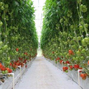 """Классический сердцевидный розовый томат """"Батяня"""": отзывы и фото полученного урожая помидоров"""