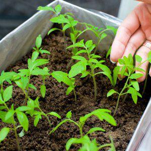 """Отличный выбор для тех, кто хочет получить богатый ранний урожай отличных помидоров - томат """"Богата хата F1"""""""