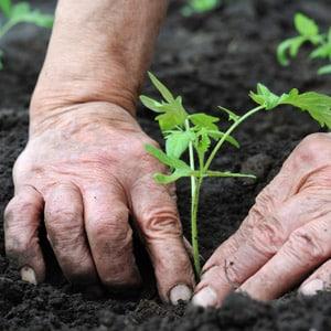 """Яркое украшение на ваших грядках - томат """"Какаду f1"""": отзывы и секреты получения обильного урожая"""