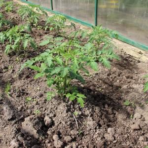 """Перспективный и обожаемый многими фермерами томат """"Медовый гигант"""": характеристика и описание сорта помидоров"""
