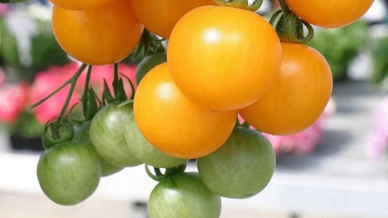 """Томат """"Оранжевое чудо"""" - настоящая находка для любого дачника"""