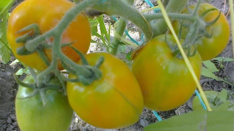 """Вкусный и устойчивый сорт с повышенным содержанием бета-каротина - томат """"Подарок феи"""": отзывы и фото урожая"""
