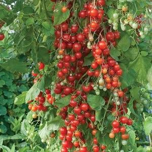 """Выращиваем помидорки-конфетки на своем участке: томат """"Свит черри"""""""