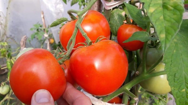 """Высокоурожайный гибрид томатов """"Краснобай F1"""""""
