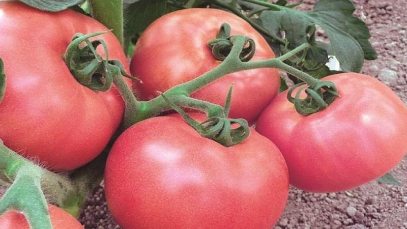 """Некапризный и легкий в уходе, но при этом балующий богатым урожаем томат """"Роза ветров"""""""