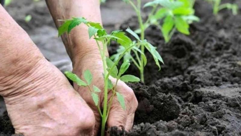 """Подарок для огородников из северных регионов со сложным климатом - устойчивый и урожайный томат """"Подснежник"""""""