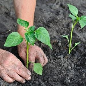 """Урожайный и раннеспелый сорт баклажана """"Буржуй"""""""
