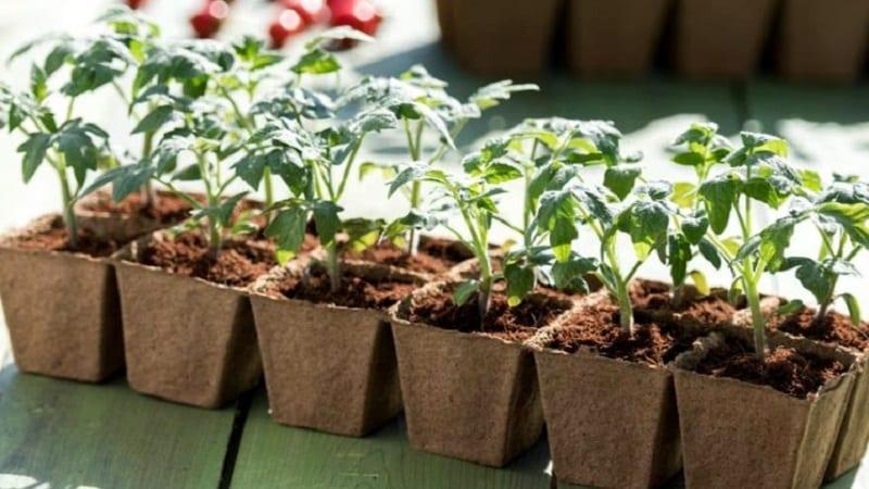 """Новый гибрид с мощными кустами и обильным урожаем помидоров - томат """"Катрина f1"""""""