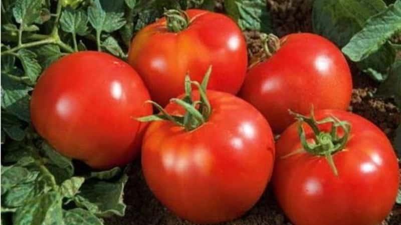 """Выращиваем богатый урожай на открытом грунте - стойкий томат """"Витязь"""""""